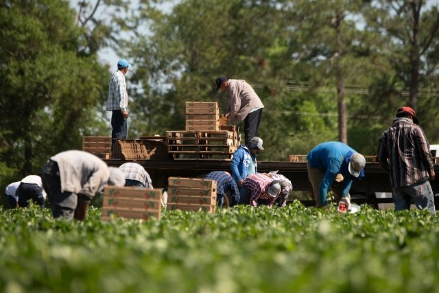US Labour crisis worsens as more than 10,000 agriculture and construction workers embark on strike